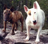Bull Terrier and Mini Bull