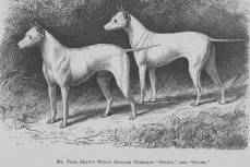 Old English White Terriers 1864