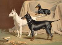 Old English Terriers c 1890