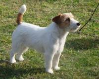 Jack Russell (Rough Coat)