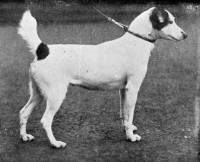 Fox Terrier (Smooth) 1896