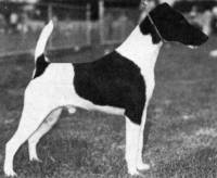 Fox Terrier (Smooth) 1975