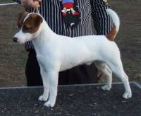Jack Russell (Smooth Coat)