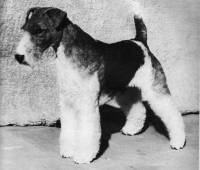 Fox Terrier (Wire) 1969