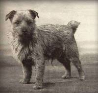 Early Norwich Terrier