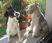 Fox Terriers (Smooth and Wire)