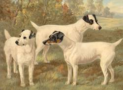 Old English White Terriers c 1880