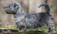 Glen of Imaal Terrier (Blue)