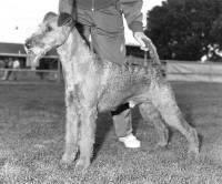 Irish Terrier c 1970