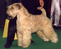 Soft Coated Wheaten