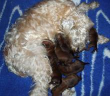 Soft Coat with two-day-old pups