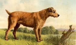 Irish Terrier 1879