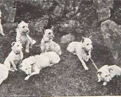 West Highland White Terriers Coupled