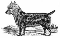 Rough Coated Terrier c 1890