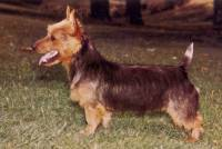 Australian Terrier 1972 Swap Card