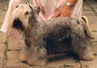 Cesky Terrier (Grey-Blue)
