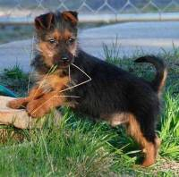 Australian Terrier (10 weeks)