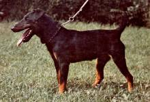 German Hunting (Jadg) Terrier