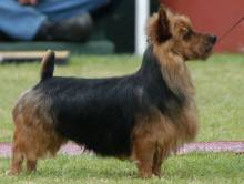 Australian Terrier (Blue & Tan)
