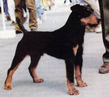 German Hunting (Jagd) Terrier