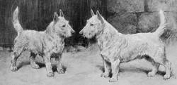 White 'Scotch' Terriers c 1890