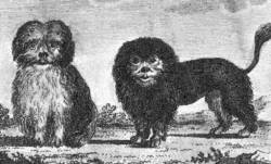 Bichon and Lowchen c 1760