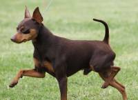 English Toy Terrier And Miniature