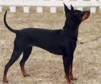 English Toy Terrier c 1994