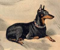 English Toy Terrier (Black and Tan) c 1887