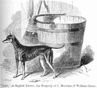 English Toy Terrier (Black and Tan) c 1859