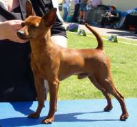 English Toy Terrier And Miniature Pinscher Janedogs