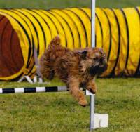 Griffon doing Agility