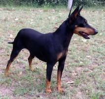 English Toy (Black and Tan)