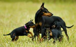 English Toy Terriers (Black and Tan)