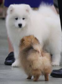 Pomeranian and Samoyed