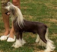 Chinese Crested 'Deer' Type