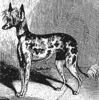 Chinese Crested Dog 1866
