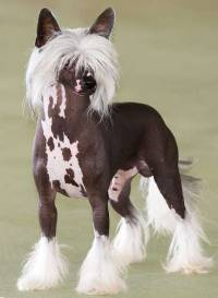 Chinese Crested 'Cobby' Type