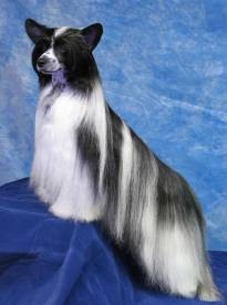 "Chinese Crested ""Powder Puff'"