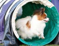Papillon doing Agility