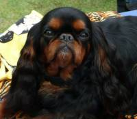 King Charles (Black & Tan)