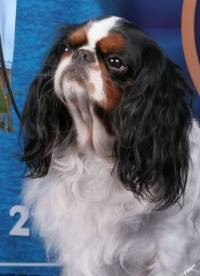 King Charles Spaniel (Tri-colour)