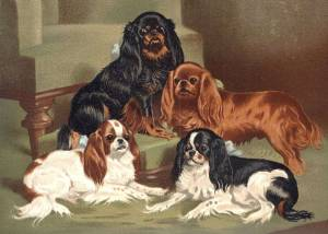 Colours of the King Charles Spaniels