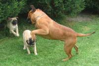 Bullmastiff with Pups