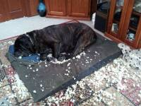 Mastiff in modern home
