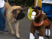 Mastiff with toy horse
