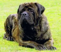 Mastiff (English) Brindle