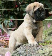 Mastiff (English) 6 weeks