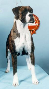 Boxer (Brindle and White)