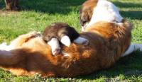 Saint Bernard (Long Haired) with pup